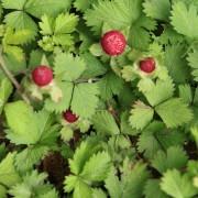 mock strayberry duchesnea indica