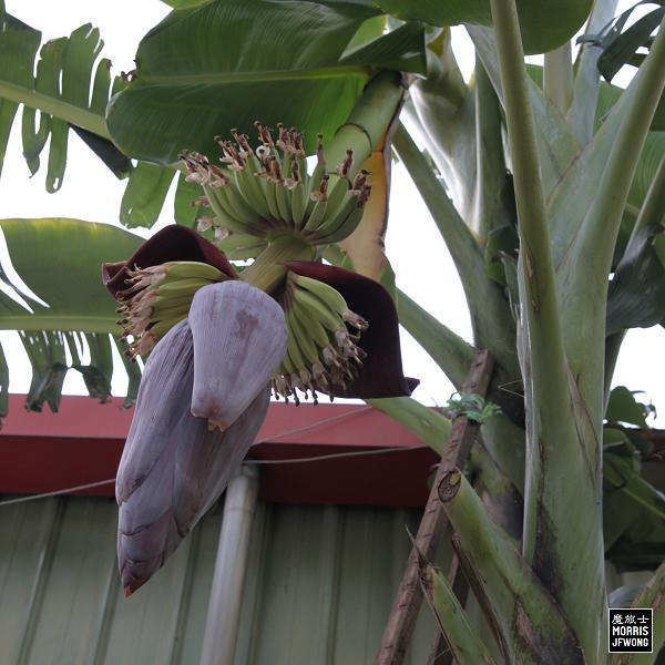banana-flower-fruit-02a