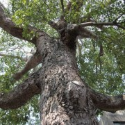 large_tree_kinmen_01a